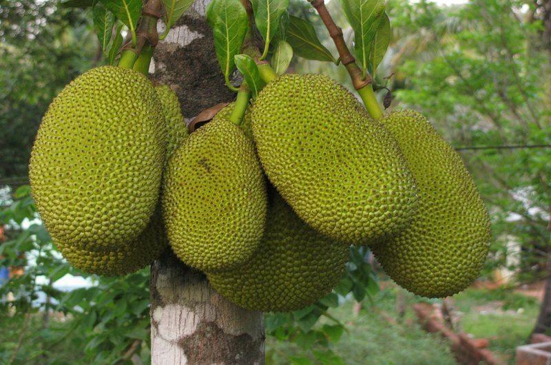 Jackfruit Exotic Fruit Bali