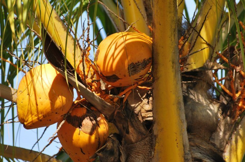 Yellow Orange Coconut Fruit Bali