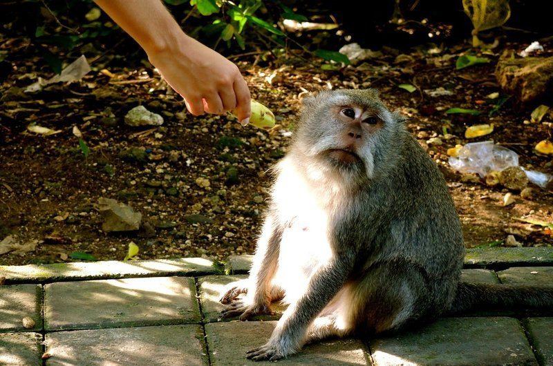 Aggressive Monkey Safety Tips Bali