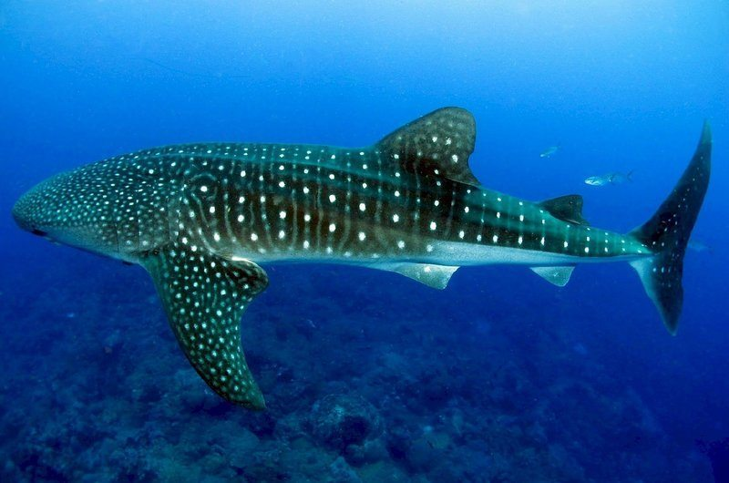 Whale Shark Largest Saltwater Fish Thailand
