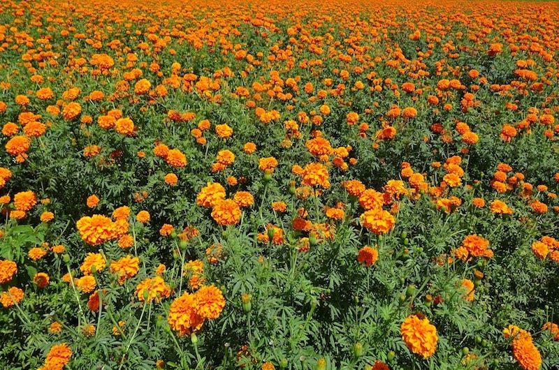 Marigold flower in North Bali