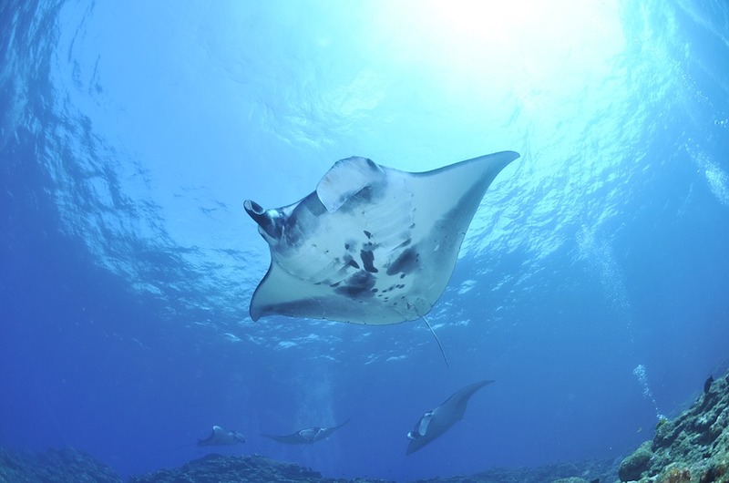 Maldives Manta Rays | Things to do in the Maldives