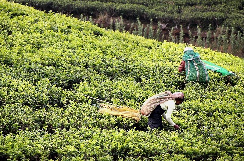 Sri Lanka Tea Harvest