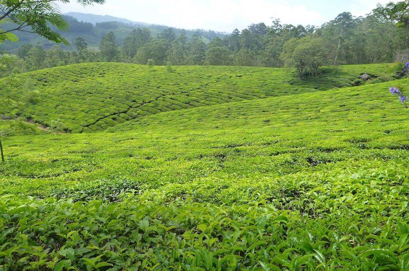 Sri Lanka Tea Plantation Kandy