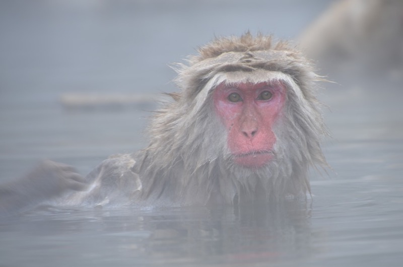 Japan Nagano Snow Monkey