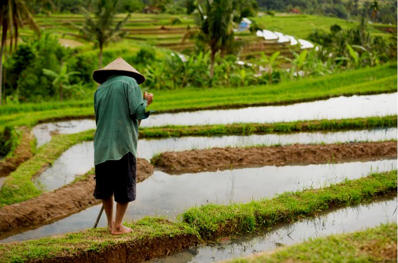 Bali Rice Paddies Farmer