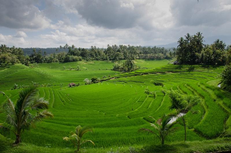 Ricefields | Ubud, Bali