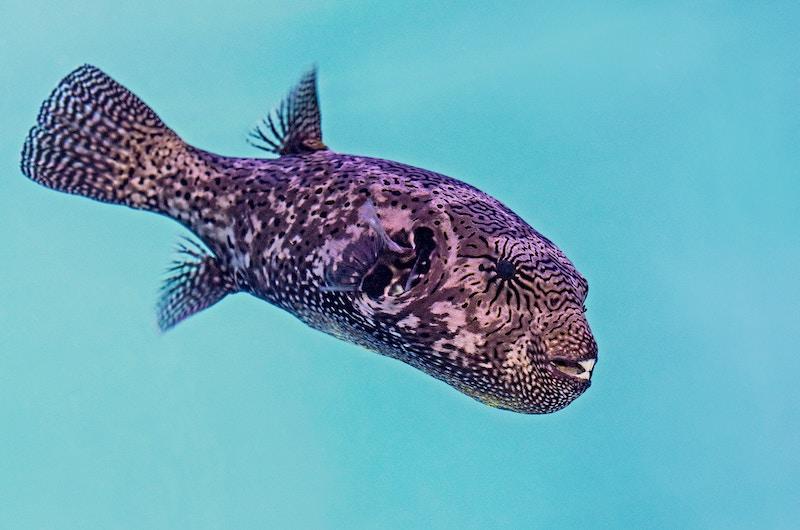 Pufferfish | Nusa Penida, Indonesia
